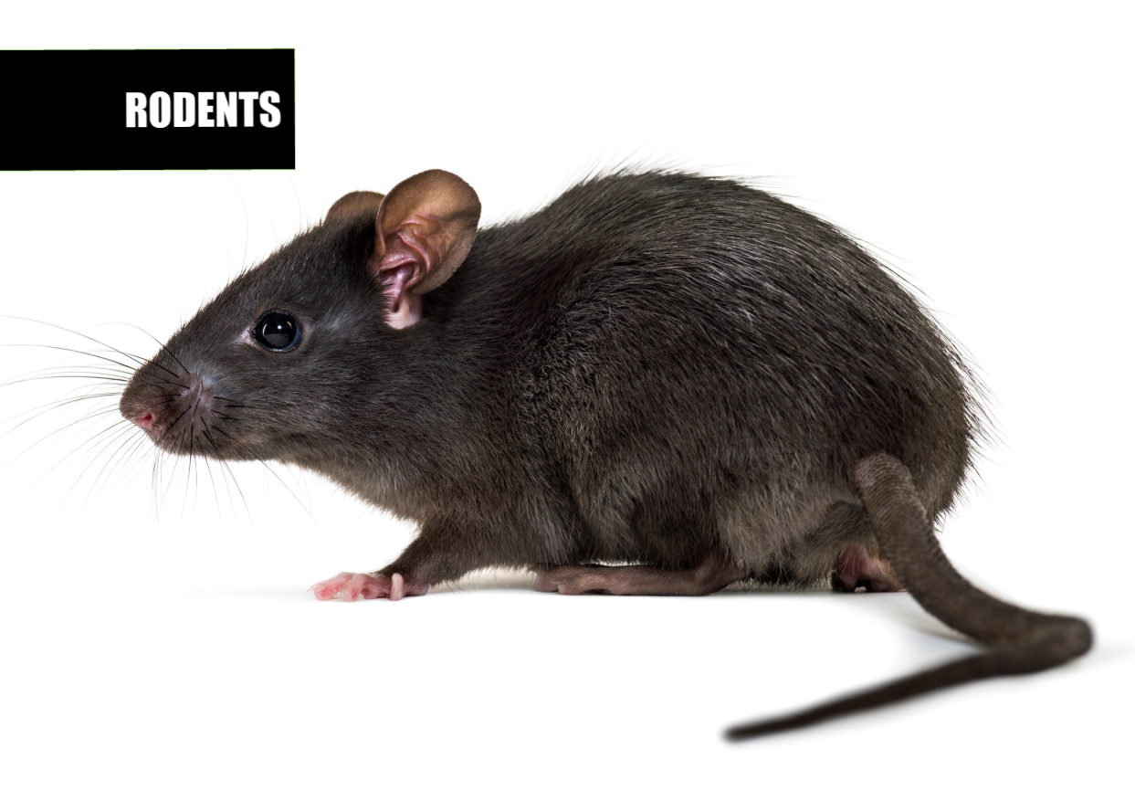 Rodent Control | Ace Pest Protection