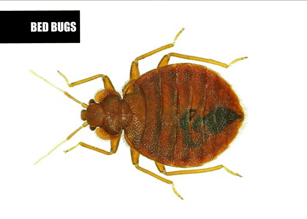 How to get rid of bed bugs | Ace Pest Protection