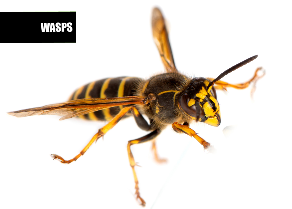 How to get rid of wasps | Ace Pest Protection