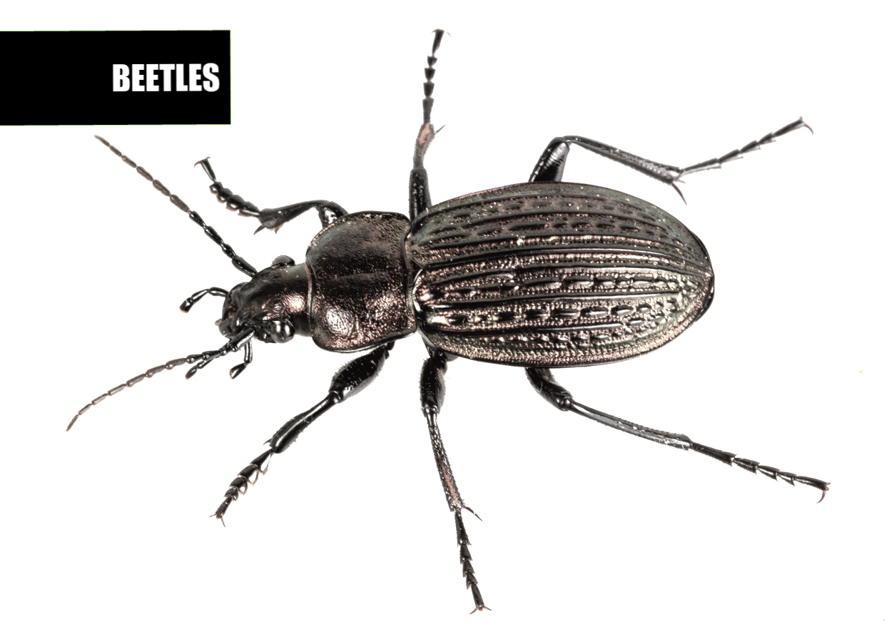 How to get rid of beetles | Ace Pest Protection