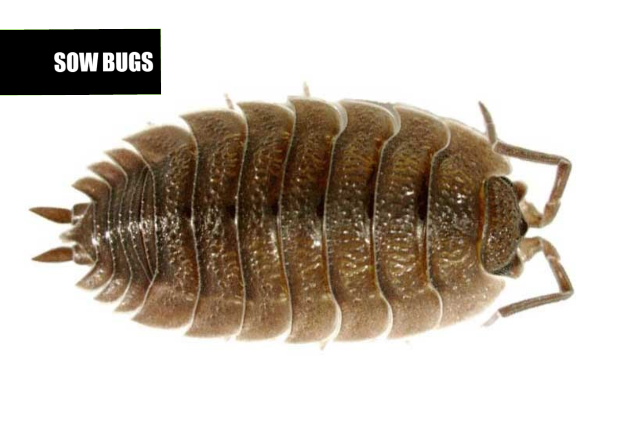 How to get rid of rolly pollies | Ace Pest Protection
