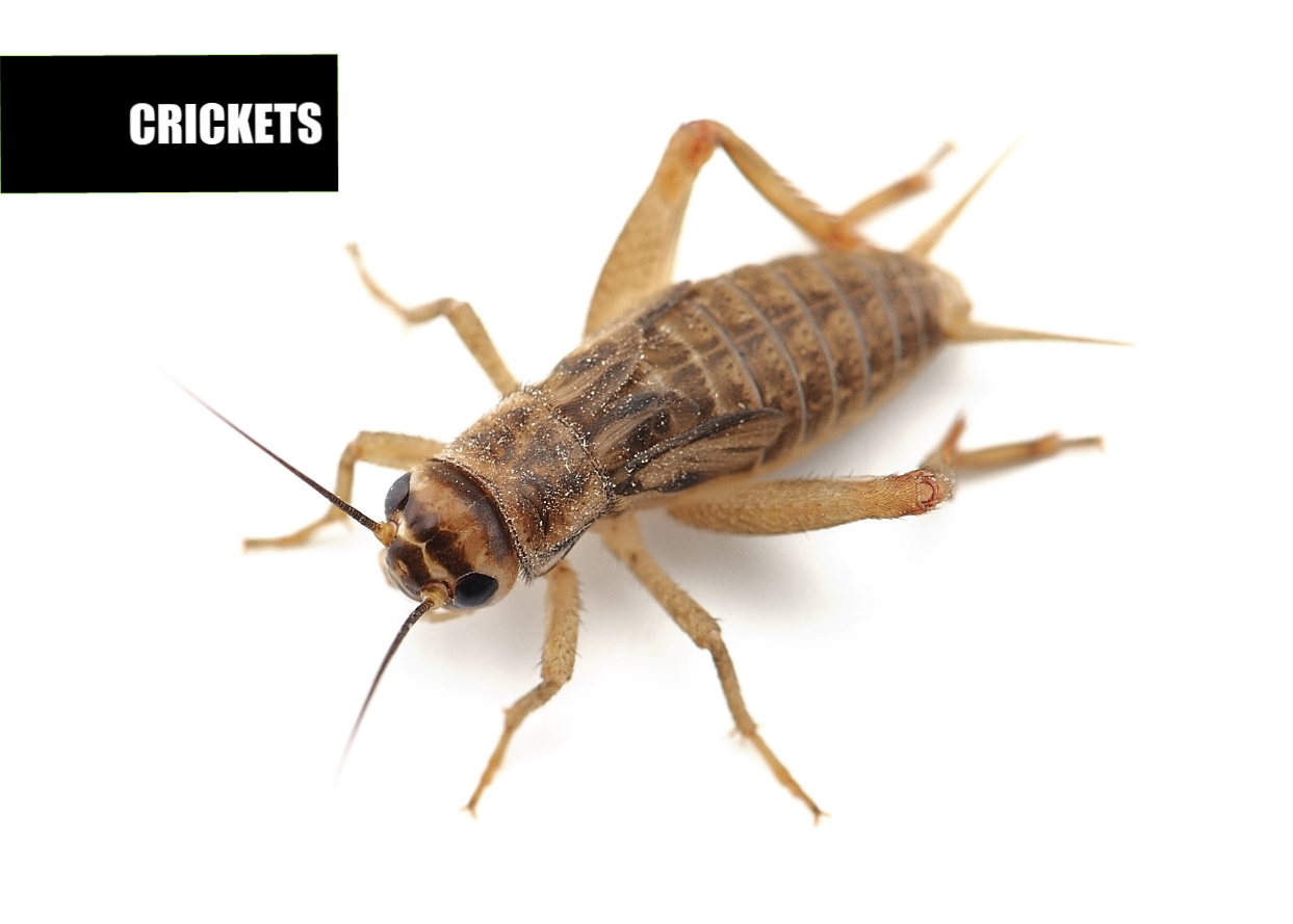 How to get rid of crickets | Ace Pest Protection