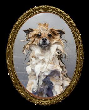 Terrier Dog  getting a bath with shampoo