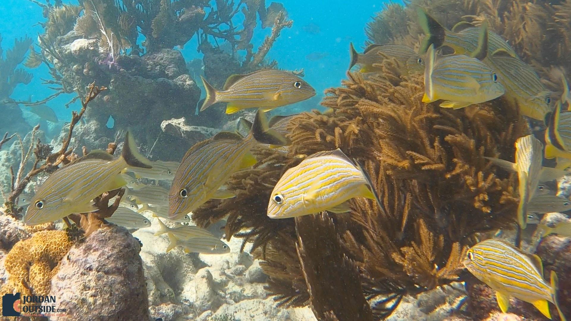 Yellow Fish at the Grecian Rocks Coral Reef