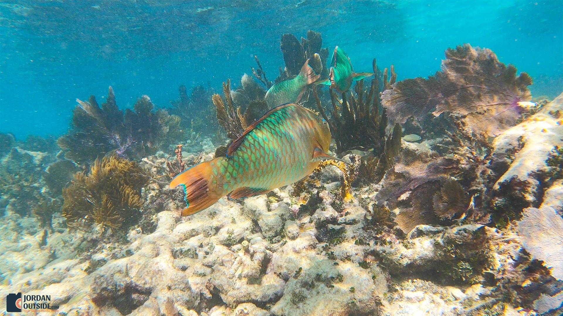 Parrot Fish at the Grecian Rocks Coral Reef