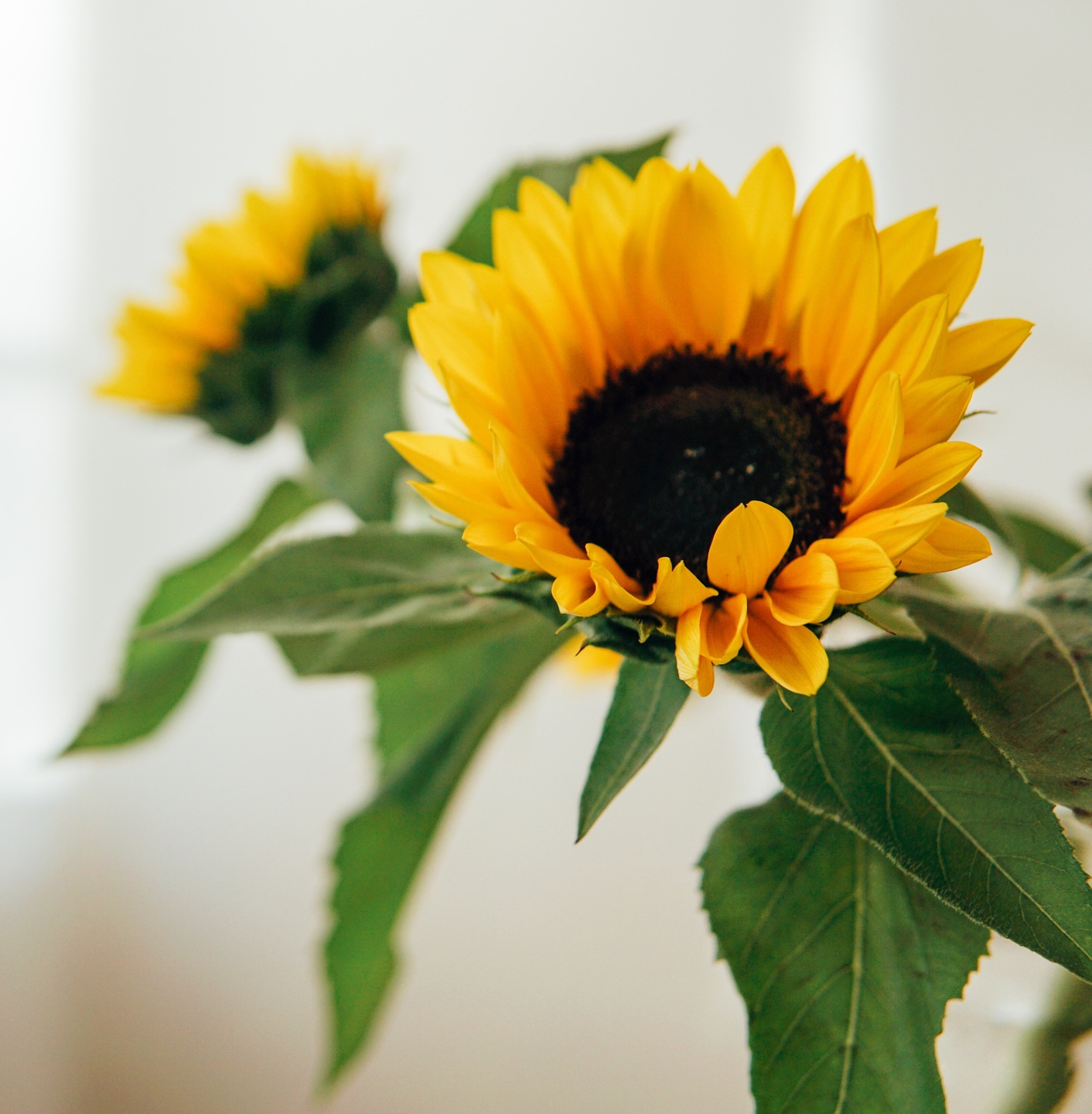 sunflowers and green leaves
