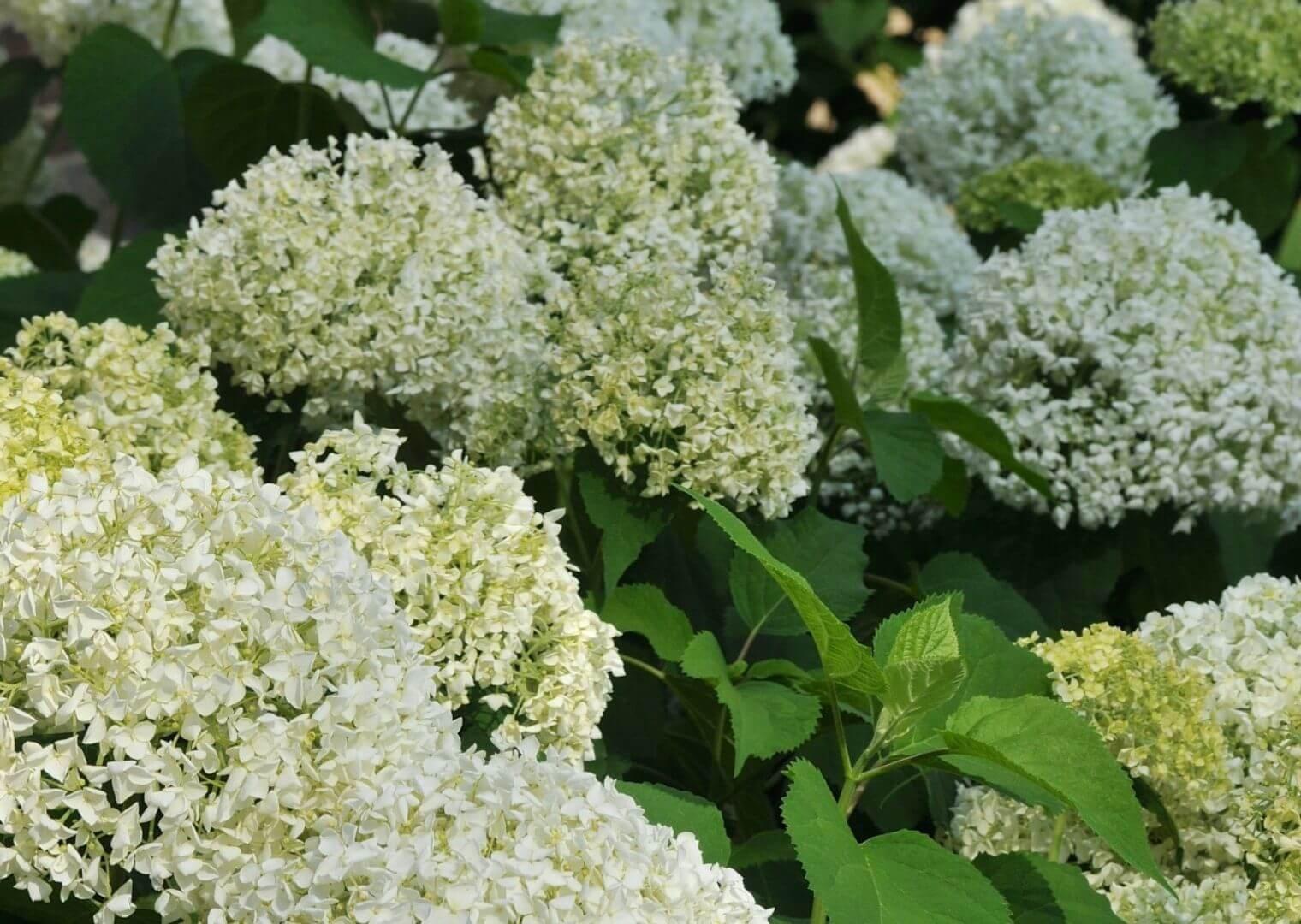 Hydrangea 'Annabelle' is good plant for a modern low-maintenance garden