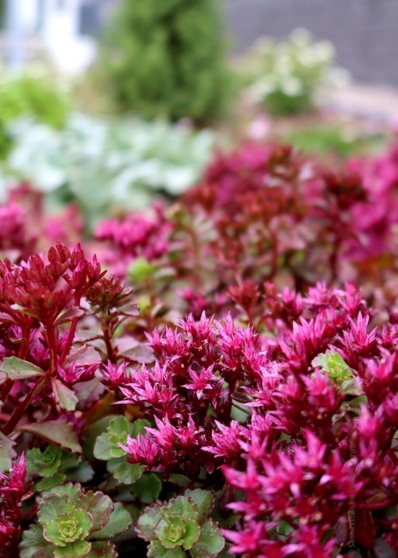 Starting a garden with low-maintenance garden perennials like Sedum
