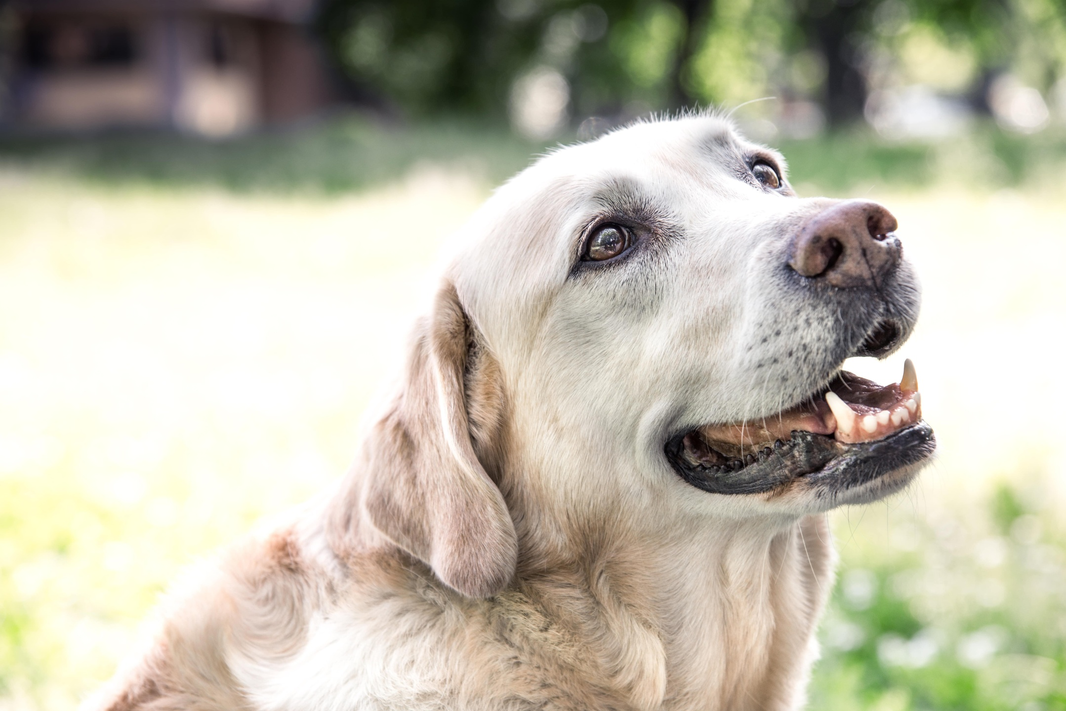 A beautiful Labrador Retriever ready for Dog Training and Dog-Friendly Outdoor Activities in Dallas, Texas
