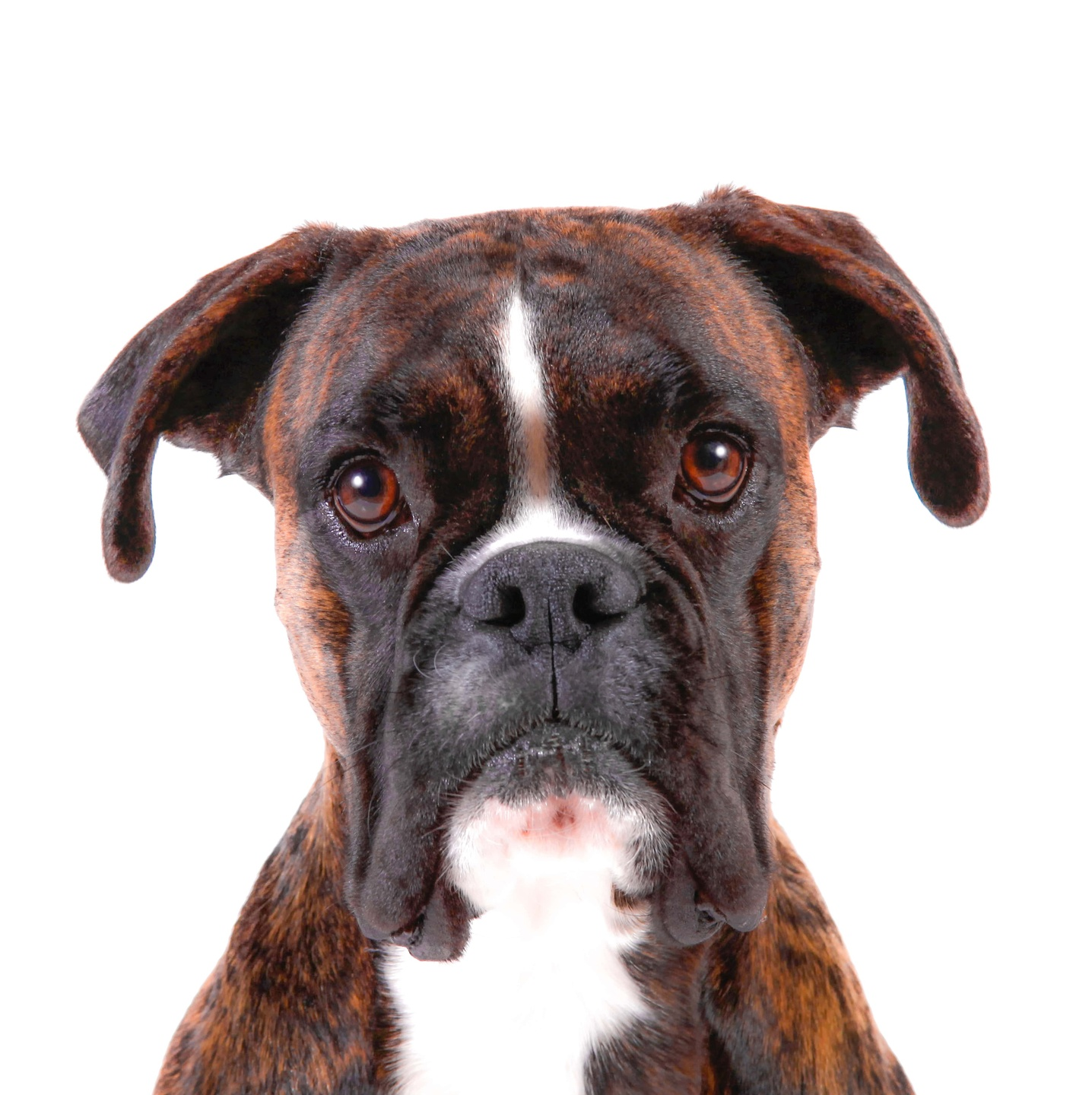 A Boxer ready for Dog Training and Dog-Friendly Outdoor Activities in Allen, Texas