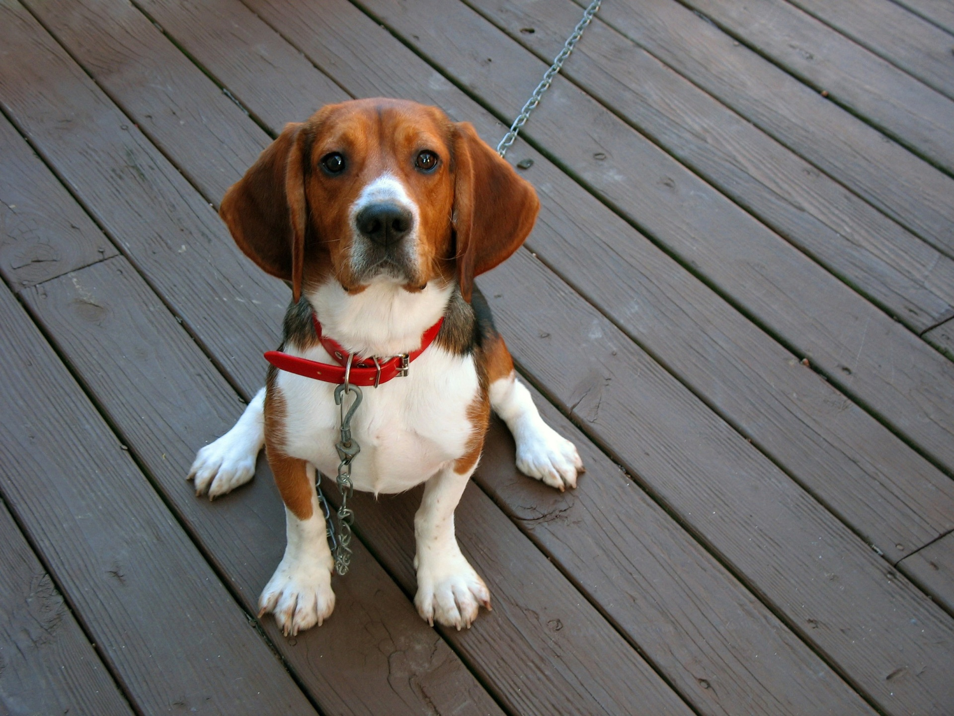 tri-color hound Dog Training and Dog-friendly Outdoor Activities in McKinney, Texas